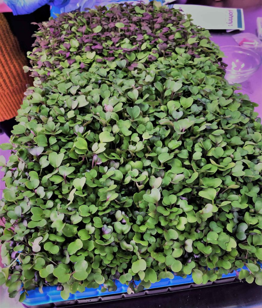Tray with ready to eat microgreens grown from our vertical farms