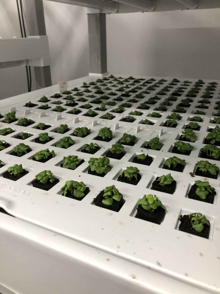 Basil growing from vertical farms of FLP